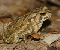 Fowler's Toad Jigsaw Puzzle