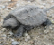 Snapping Turtle Jigsaw Puzzle