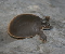 Smooth Softshell Turtle Jigsaw Puzzle