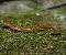 Long-tailed Salamander Jigssaw Puzzle